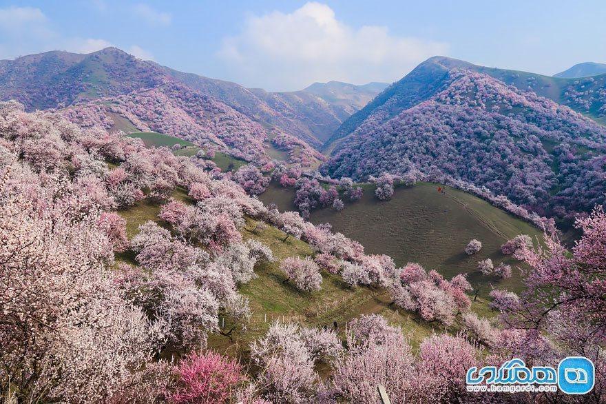 تصاویری زیبا از شکوفه های بهاری و صورتی رنگ در چین
